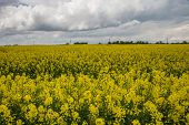 pic of rape  - Rape flowering time of the beginning of the summer fields of Lithuania - JPG