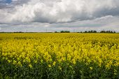 foto of rape  - Rape flowering time of the beginning of the summer fields of Lithuania - JPG