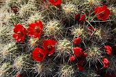 picture of colorado high country  - Member of the Hedgehog Cactus family - JPG