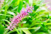 stock photo of bromeliad  - Close up of Pink purple bromeliad flower in bloom in springtime  - JPG