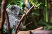 stock photo of koala  - Koala on a tree with bush green background - JPG