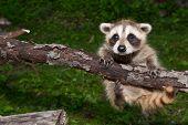 image of raccoon  - A Cute Baby Raccoon learning to climb - JPG