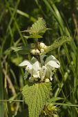 pic of nettle  - Common nettle stinging nettle Urtica dioica in flower month of April Spring United Kingdom - JPG