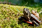 stock photo of turtle shell  - A Spring Peeper hitching a ride on the shell of a Painted Turtle - JPG