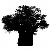 picture of baobab  - this an african baobab tree silhouette - JPG
