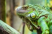 stock photo of lizard skin  - Zoo Green Iguana Reptile Portrait Close Up - JPG
