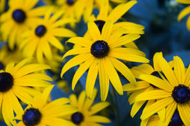 picture of black-eyed susans  - Black - JPG