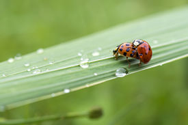 stock photo of coitus  - Love-making ladybugs couple in a wet garden after a springtime storm ** Note: Visible grain at 100%, best at smaller sizes - JPG