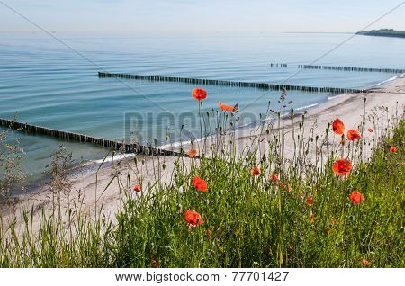 Poppies on the Baltic coast