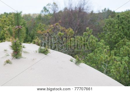 Trees Covered By Sand