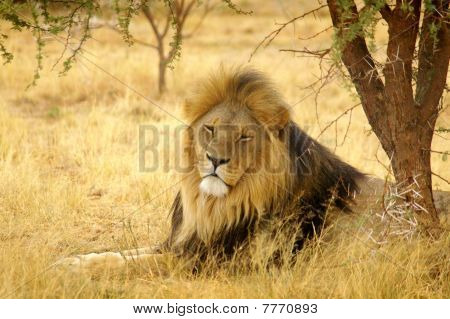 African male lion sleeping