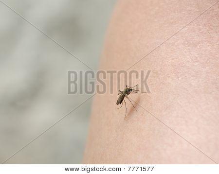 Bloodsucking Mosquito