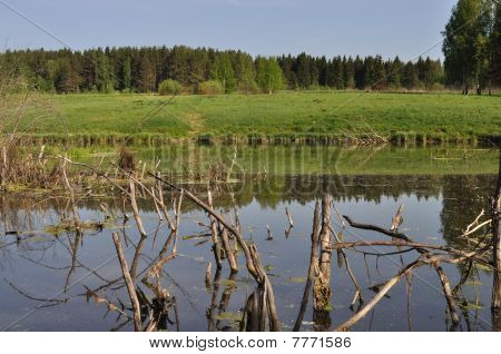 Swamp With Dry Snags
