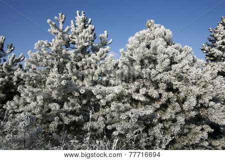 Beautiful Pine Tree  In Winter Forest Frosty Winter Day