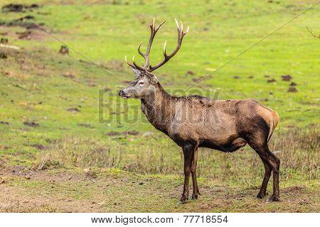 Red Deer Stag On Meadow