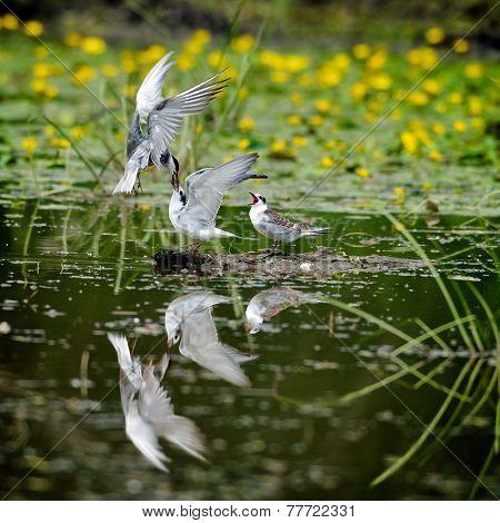 common terns in natural habitat (sterna hirundo)