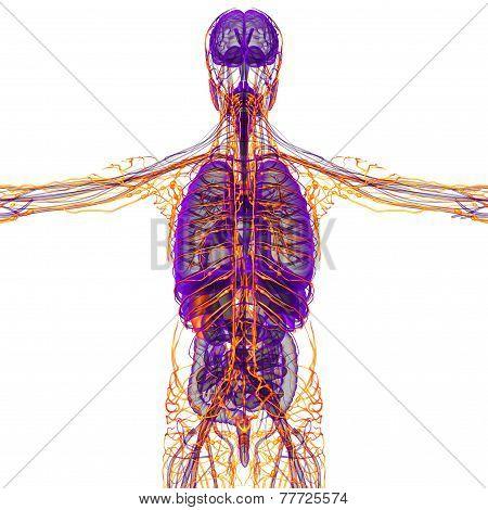 3D Render Medical Illustration Of The Human Lymphatic System