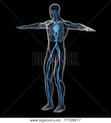 3D Render Medical Illustration Of The Human Vascular System