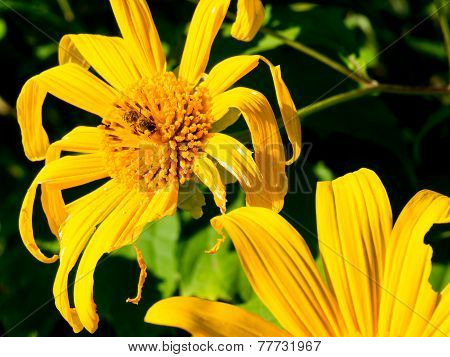 Tree Marigold With Bee, Mexican Tournesol, Mexican Sunflower With Blue Sky Background..