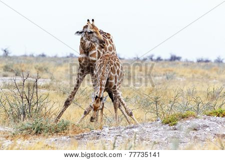 Two Giraffa Camelopardalis Near Waterhole