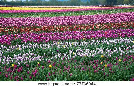 Field Of Different Colored Tulips