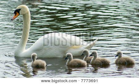 Swan & Brood.