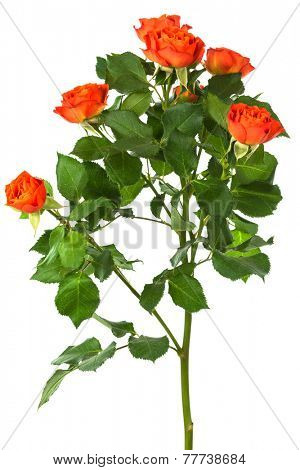 beautiful branch of roses on a white background