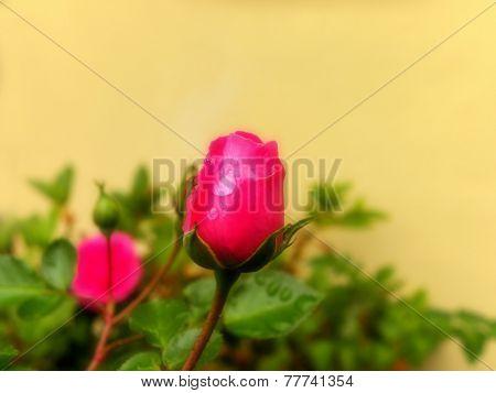 Rosebud in the rain