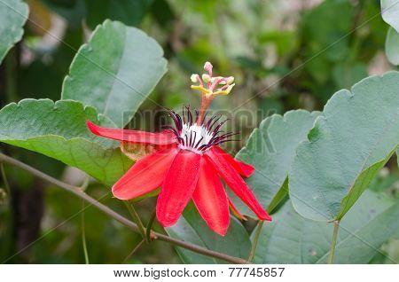 Red Granadilla, Scarlet Or Red Passion Flower (passiflora Miniata)