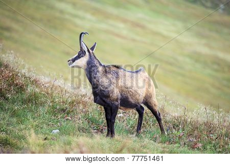 Mountain Goat, Chamois
