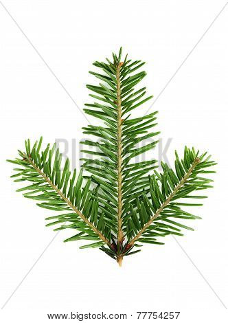 Fir Branch Close-up.