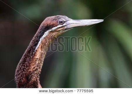 The snakebird