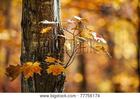 Trunk and branch of fall maple tree with bright orange foliage in sunny autumn forest