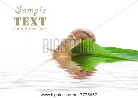 The Snail Sits On A Green Leaf And Looks At The Reflexion In Water