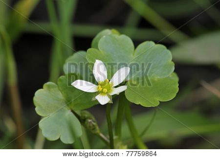 Round-leaved Crowfoot