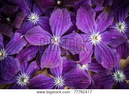 Clematis Blue Flowers Texture. Garden Ackmanii Clematis Background.