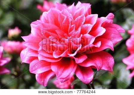 Dahlia flower and raindrop