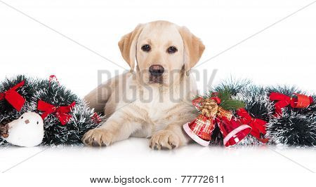 labrador retriever puppy with Christmas decoration