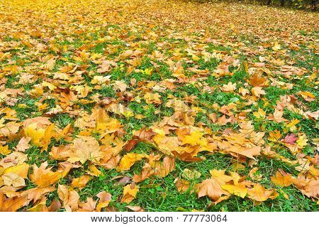 Background Of The Fallen Autumn Leaves.