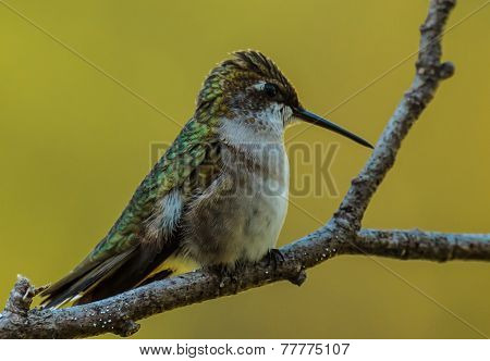 Ruby-Throated Hummingbird - 4