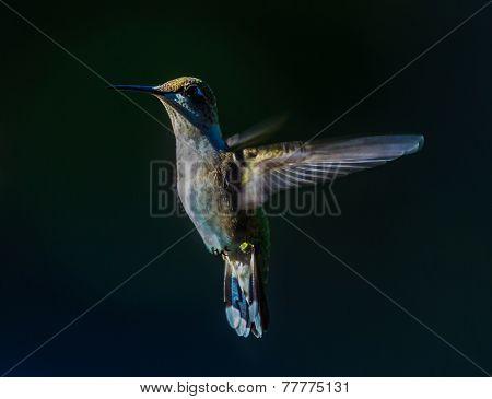Ruby-Throated Hummingbird - 7