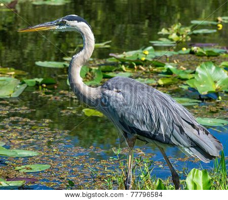 Great Blue Heron (ardea Herodias) Walking At Waters Edge