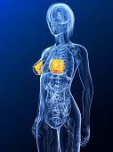 pic of mammary  - 3d rendered illustration of a female anatomy with highlighted mammary - JPG