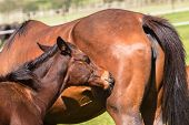 stock photo of colt  - Horse mare and foal colt on stud farm field - JPG