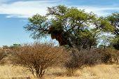 pic of african mask  - African masked weaver big nest on tree african landscape Kgalagadi Transfrontier Park Botswana true wildlife - JPG