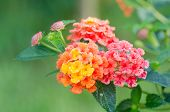 pic of lantana  - Yellow lantana camara flowers blooming in garden - JPG