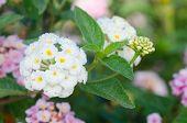 stock photo of lantana  - White lantana camara flowers blooming in garden - JPG