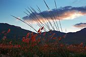picture of pampa  - Sunset lights up the colors on pampas grass - JPG