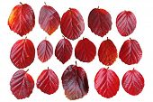 pic of alder-tree  - Set of red fothergilla witch alder leaves isolated on white - JPG
