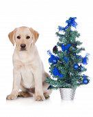 stock photo of christmas puppy  - labrador retriever puppy with Christmas decoration on white - JPG
